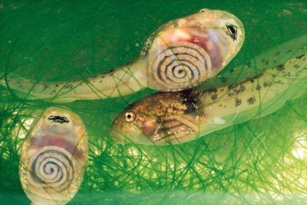Glass frog tadpole Poliwag