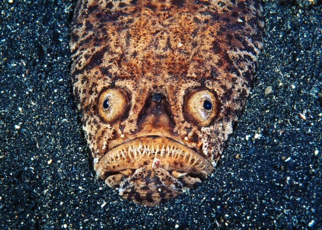 Stargazer fish Stunfisk